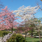 Dogwood(white) and a Cherry Blossom (pink)