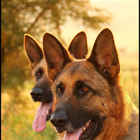 Storm and Casey by Romano Volker - Animals - Dogs Portraits