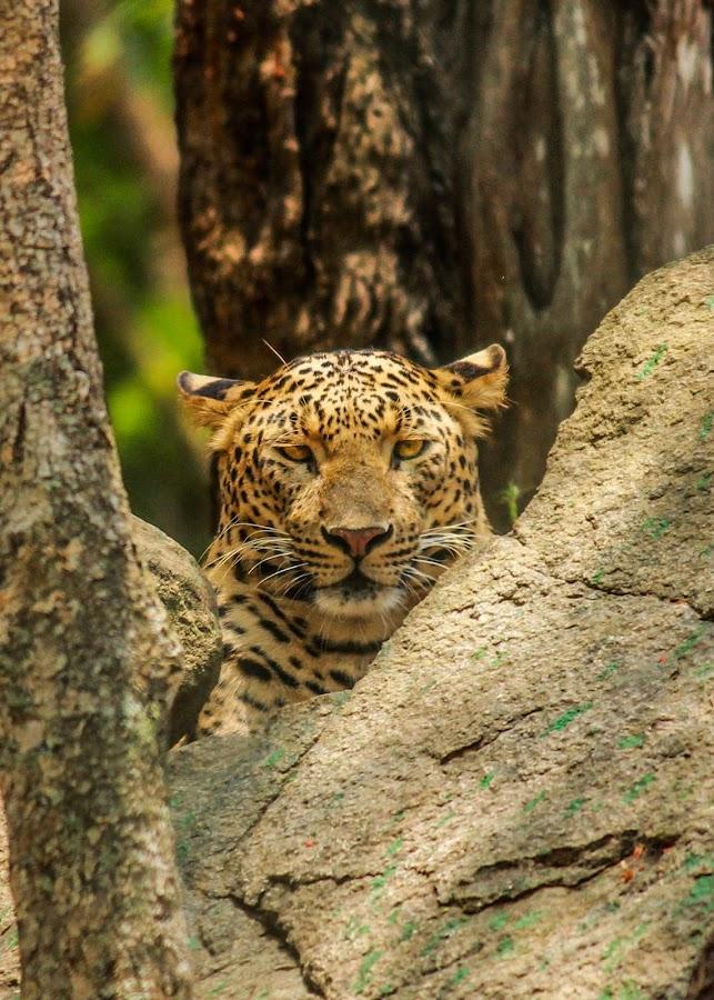 leoprad by Ranajit Roy - Animals Lions, Tigers & Big Cats