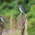 Peapasa / White-breasted Woodswallow