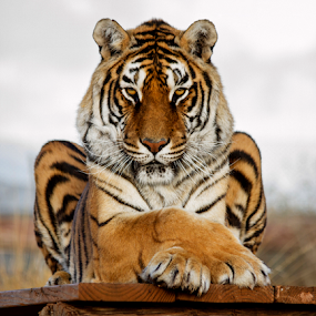 His Majesty  by Cheryl Nestico - Animals Lions, Tigers & Big Cats ( wild life, tiger, camp verde, feeding, wildlife, bengal tiger, out of africa, crossed legs, bengal, portrait,  )