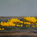 Golden Jelly fungus