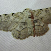 Bent-line Gray Moth