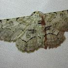 Bent-line Gray Moth