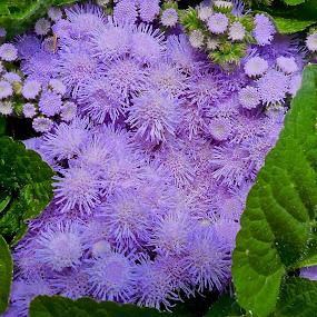 Purple Bloom by Forrest Covin - Flowers Flower Buds ( blooming flower, landscape, garden, flower, purple flower,  )