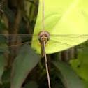 Globe Skimmer