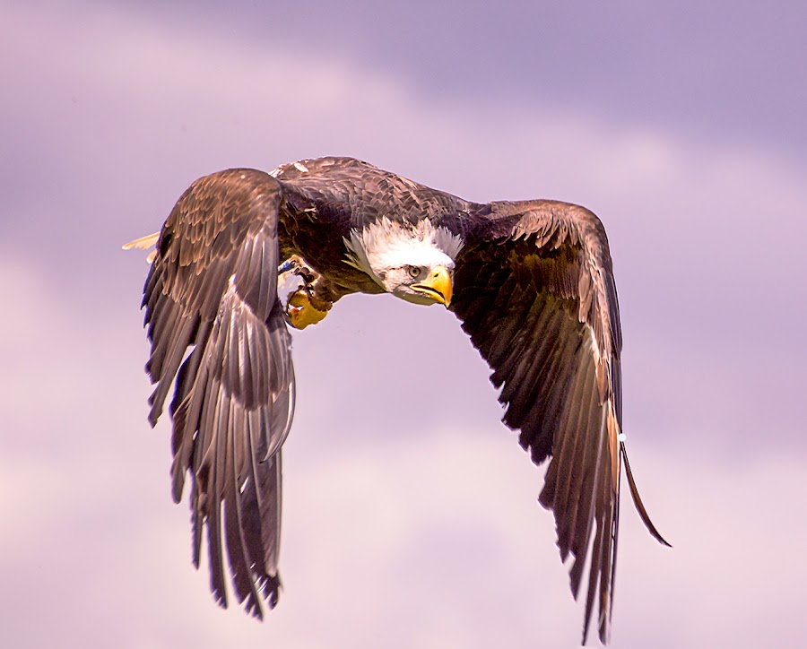 Sea Eagle looking for a snack by Tim Sharp - Animals Birds ( eagle, seaeagle, hunting, sea, raptor )
