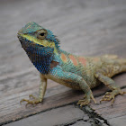 Indo-Chinese Forest Lizard, Indo-Chinese Bloodsucker or Blue-crested Lizard