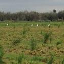 Little egret, garzetta