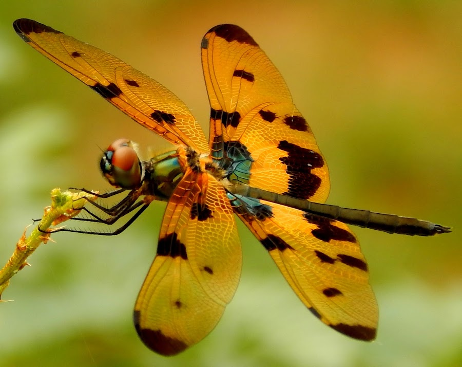 Dragon Fly by Aritra Ghosh - Animals Insects & Spiders ( orange, macro photography, insect, dragonfly, black,  )