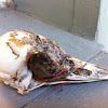 Red-Bellied Woodpecker skull