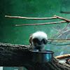 Cotton-Topped Tamarin