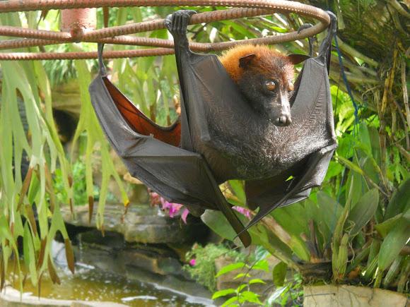 Fledermaus Philippinen