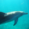 Indo-pacific bottlenosed dolphin