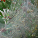 Fall Webworms (Caterpillars)