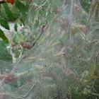 Fall Webworms (Caterpillars)