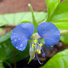 Commelina benghalensis