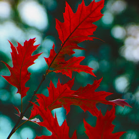 Reddish leaves by Gerd Moors - Nature Up Close Leaves & Grasses ( red, nature, leaf, leaves, bokeh,  )