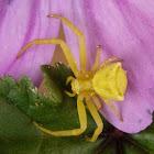 Araña cangrejo amarilla