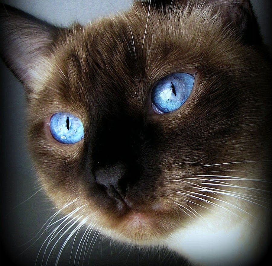 Miss Truffles by Trish Hamme - Animals - Cats Portraits (  )