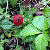 Indian Stawberry