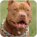 Pitbull Dog Live Wallpaper icon