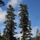 North Plateau Ponderosa pine