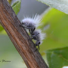 White Velvet Ant / Wingless Wasp