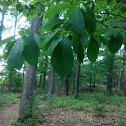 Black Gum Tree