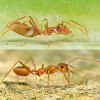 Red weaver ant mimic spider