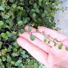 Creeping wire vine