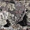 Orange-lipped plateau lizard