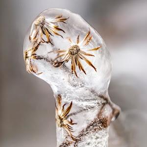 ice-encrusted-weed-900px.jpg