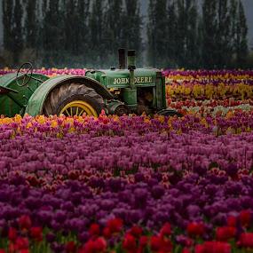 Wooden Shoe Tulip Festival by Tom Reiman - Landscapes Prairies, Meadows & Fields ( colorful, tulip festival, wooden shoe, tulips, flowers,  )
