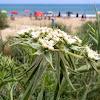 Zanahoria marítima, Maritime carrot
