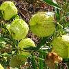 wild cotton ball