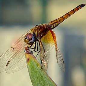 by Iain Weatherley - Animals Insects & Spiders ( close up nature, animals, dragonfly, insect, dragonflies,  )