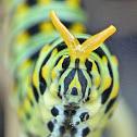Black swallowtail (caterpillar)