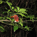 Madagascar Pigmy Kingfisher