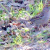 Golden-crowned Sparrow (1st Winter)