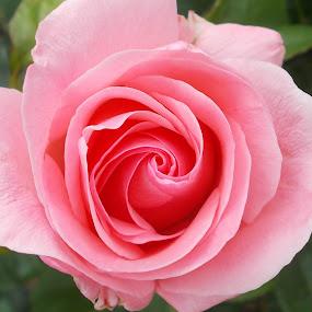 by Monica Dragomir - Flowers Flower Gardens (  )