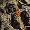 Multicoloured Asian Ladybird
