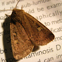 Square-spot Rustic Moth