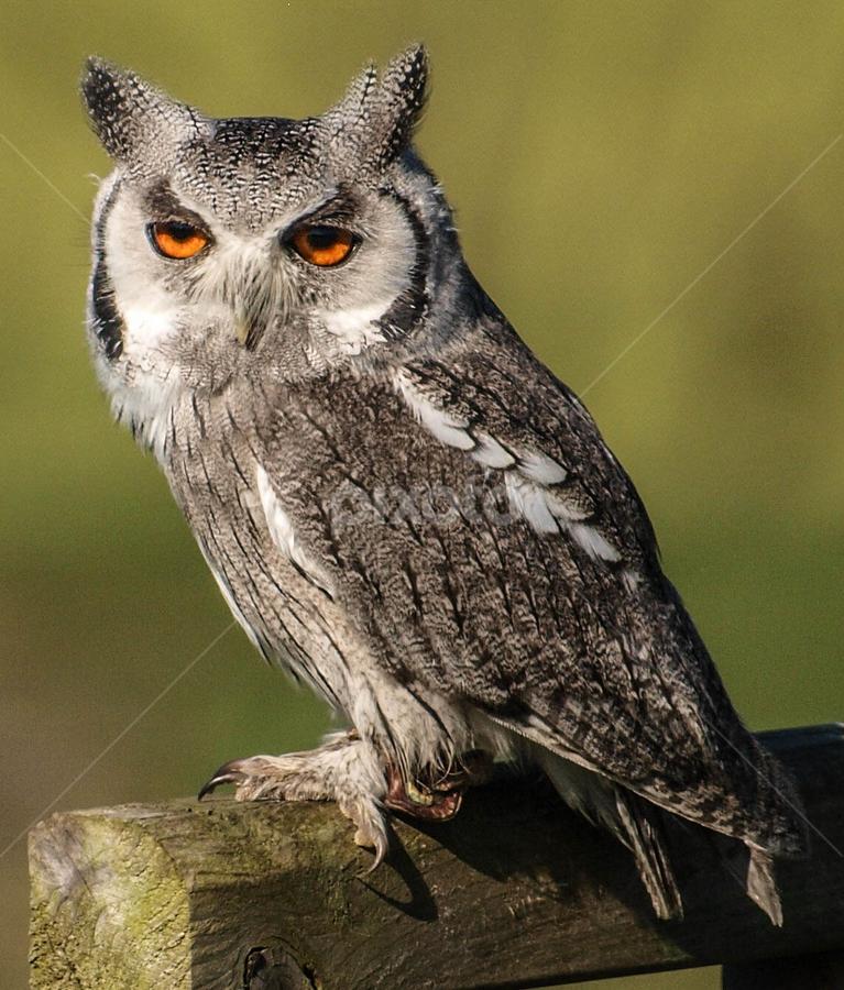 Perched owl by Garry Chisholm - Animals Birds ( bird, garry chisholm, nature, owl, wildlife, prey, raptor )