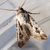 Pink Cutworm Moth