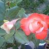 Brigadoon Rose