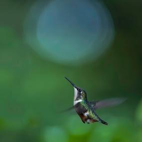 onwards and upwards by Annette Flottwell - Animals Birds ( colibri, cloud forest, hummingbird, archilochus colubris, in flight,  )