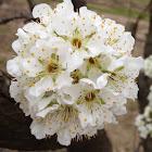 Peach or nectarine blossom