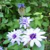 Flor Catananche caerulea