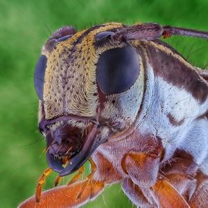 longhorn beetle30001.JPG